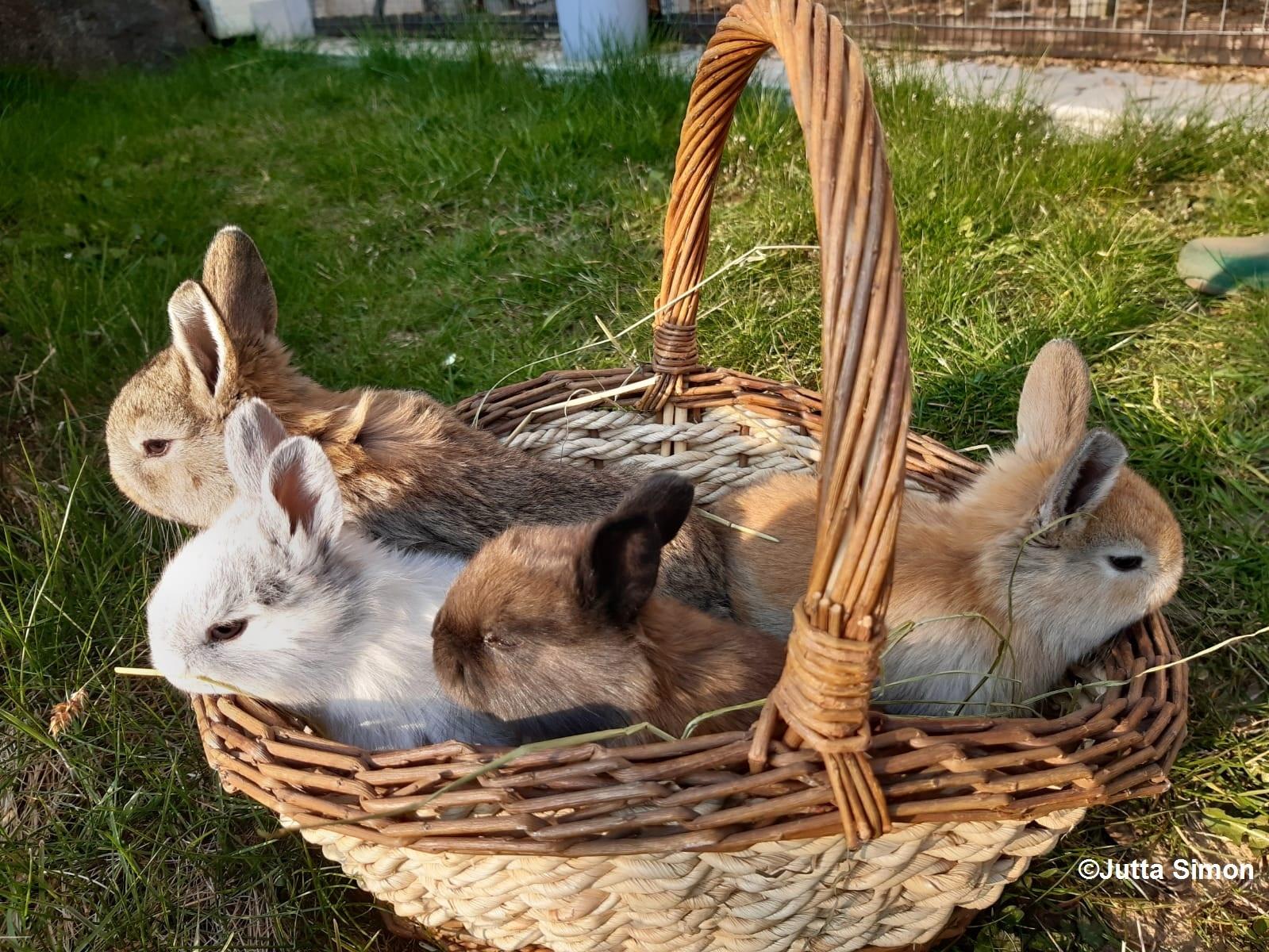 Vier kleine, verschiedenfarbige Hasen sitzen in einem Weidekorb auf einer grünen Wiese