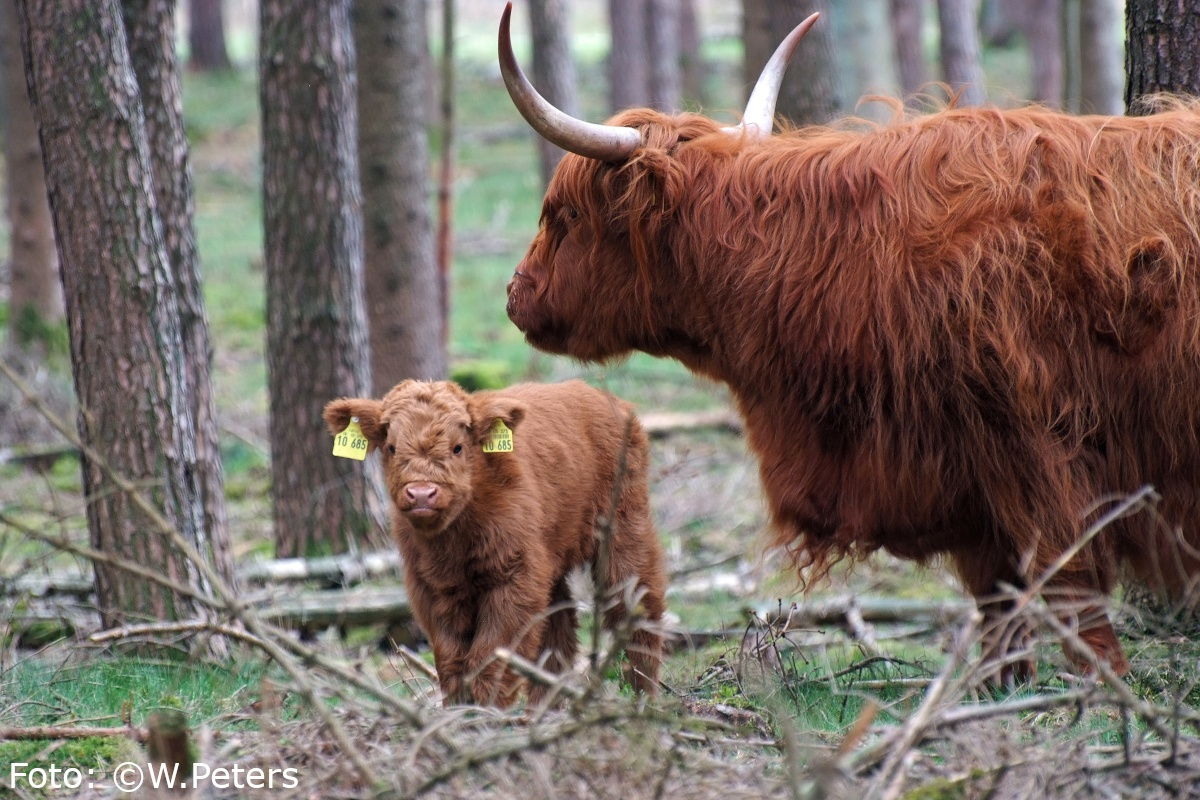Schottisches Hochlandrind mit Kalb im Kiefernwald in der Wistinghauser Senne